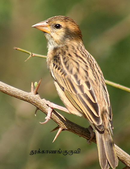 Baya_Weaver_(Female)1