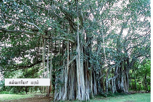 calvaria-tree copy